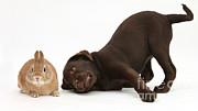 Chocolate Lab Photos - Chocolate Lab & Netherland-cross Rabbit by Mark Taylor