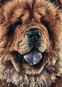 Animal Eyes Posters - Chow Chow  Poster by Stylianos Kleanthous