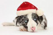Dog Clothes Posters - Christmas Collie Poster by Mark Taylor