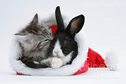 Santa Claus Prints - Christmas Kitten And Rabbit Print by Mark Taylor