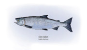 Game Fish Drawings Framed Prints - Chum Salmon Framed Print by Ralph Martens