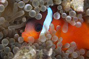Pomacentridae Posters - Cinnamon Clownfish In Its Host Anemone Poster by Terry Moore