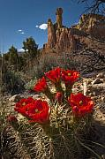 Claret Framed Prints - Claret Cup Cactus at Ghost Ranch Framed Print by Lou  Novick