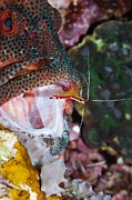 Open-mouthed Posters - Cleaner Shrimp On A Grouper Poster by Georgette Douwma