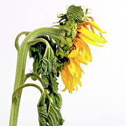 Sun Studio Photos - Close up of sunflower. by Bernard Jaubert