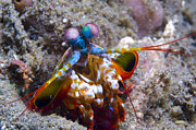 Malacostraca Prints - Close-up View Of A Mantis Shrimp, Papua Print by Steve Jones