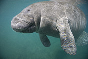 Three-quarter Length Prints - Close View Of A Manatee Print by Nick Norman