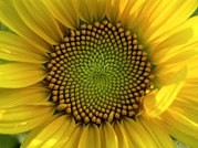 Patterns In Nature Framed Prints - Closeup Of A Sunflower At The Sunflower Framed Print by Amy White & Al Petteway