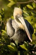 Wild Animals Photo Prints - Closeup Portrait Of A Brown Pelican Print by Tim Laman
