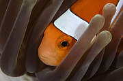 Tentacle Close-up Acrylic Prints - Clown Anemonefish, Indonesia Acrylic Print by Todd Winner