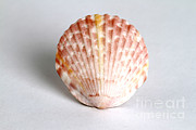 Cockle Prints - Cockle Shell Print by Photo Researchers
