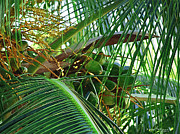Tropical Photographs Originals - Coconuts by Karen Devonne Douglas