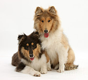 Panting Dog Prints - Collies Print by Mark Taylor