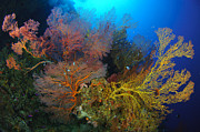 Gorgonian Photos - Colorful Assorted Sea Fans And Soft by Steve Jones