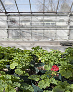 Red Geraniums Photo Prints - Colorful Geraniums in a Greenhouse Print by Thom Gourley/Flatbread Images, LLC