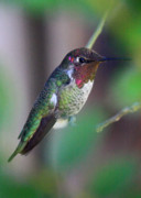 Back Yard Birds Posters - Colorful Hummingbird Poster by Carol Groenen