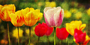 Tenderly Posters - Colorful tulips Poster by Angela Doelling AD DESIGN Photo and PhotoArt