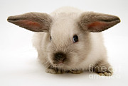 Lop Prints - Colorpoint Baby Lop Rabbit Print by Jane Burton