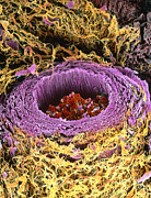 Arteriole Framed Prints - Coloured Sem Of Section Through A Human Arteriole Framed Print by Steve Gschmeissner