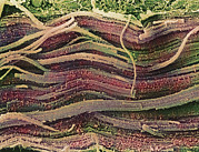 Fibres Prints - Coloured Sem Of Skeletal (striated) Muscle Fibres Print by Steve Gschmeissner