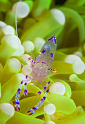 Crustacean Posters - Commensal Shrimp On Green Anemone Poster by Steve Jones
