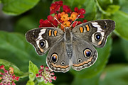 Nectar Posters - Common Buckeye Butterfly Poster by Betty LaRue