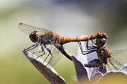 Dragonflies Mating Photos - Common Darter Dragonflies by Adrian Bicker