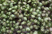 Forest Floor Photos - Common Liverwort After Forest Fire by Bjorn Svensson
