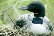 Beaks Prints - Common Loon, La Mauricie National Park Print by Philippe Henry