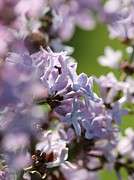 Detailed Rich Prints - Common Purple Lilac Print by J McCombie