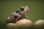 Toad Posters - Common Toad Poster by Andy Astbury