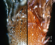 Vinegar Prints - Comparing Drosophila Bristles Print by Science Source