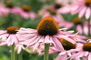 Coneflowers Photos - Coneflower (echinacea Purpurea) by Adrian Thomas