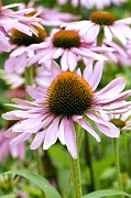 Coneflowers Prints - Coneflowers (echinacea Purpurea) Print by Adrian Thomas