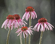Cone Flowers Framed Prints - Coneflowers Framed Print by Ernie Echols