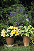 Peruvian Lily Photos - Container Plants by Archie Young