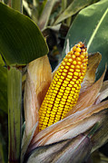 Food And Beverage Photos - Corn Cob by Carlos Caetano