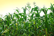 Agriculture Photo Prints - Corn Field Print by Carlos Caetano