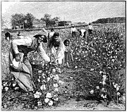 Free Plants Prints - Cotton Industry, Early 20th Century Print by