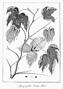 1796 Photos - Cotton Plant, 1796 by Granger
