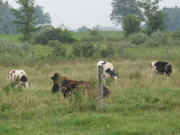 Amish Farms Photos - Cows by Ralph Baginski