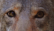 Coyote Eyes Print by DiDi Higginbotham