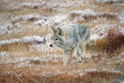 Coyote  In Yellowstone National Park Print by Pierre Leclerc Photography