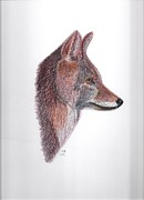 Wildlife Framed Prints Drawings Framed Prints - Coyote Framed Print by Tony  Nelson