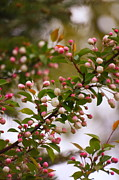 Crab Apple Photos - Crab Apple Blossoms  by Marjorie Imbeau