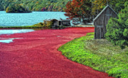Cranberry Prints - Cranberries Print by Gina Cormier