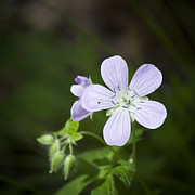 Geranium Photos - Cranesbill by Teresa Mucha