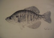 Crappie Prints - Crappie Print by Robert Cunningham