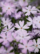 Creeping Phlox Framed Prints - Creeping Phlox Framed Print by J McCombie