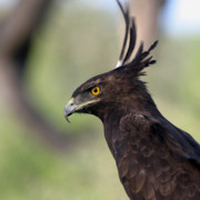Eagle Originals - Crested Eagle Samburu Kenya by Joseph G Holland